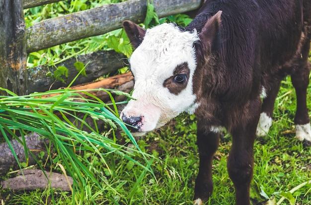村のペンで子牛に餌をやる。
