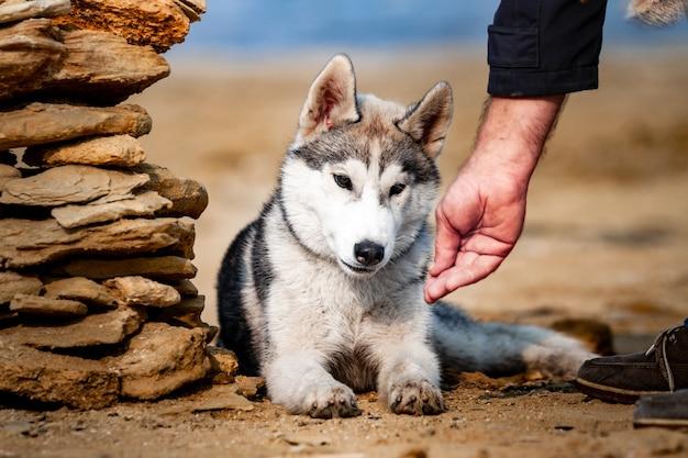 Feeding dog. siberian husky dog