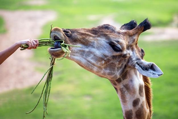 Feeding a giraffe at the zoo.