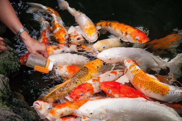 아기 젖병에서 잉어 물고기 먹이기.