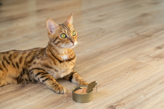 Feeding pet bengal cat with tuna fillet in a tin can