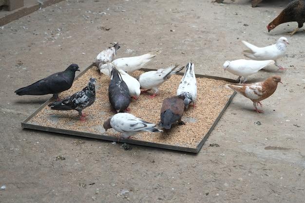 Feeding pigeon birds on floor