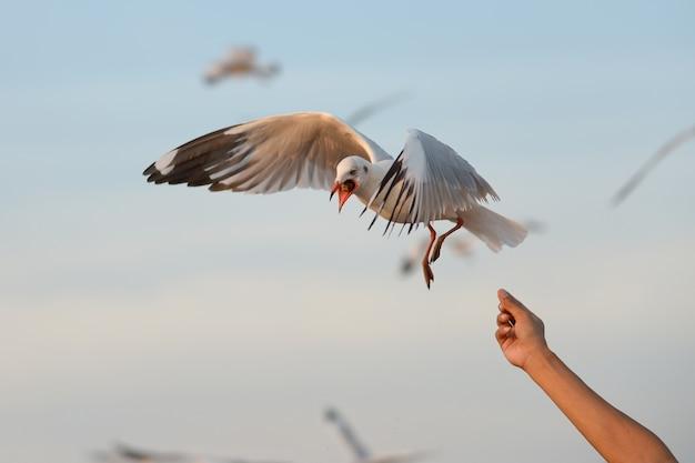 Feeding seagull on hand