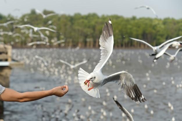 Кормление чайки на руках