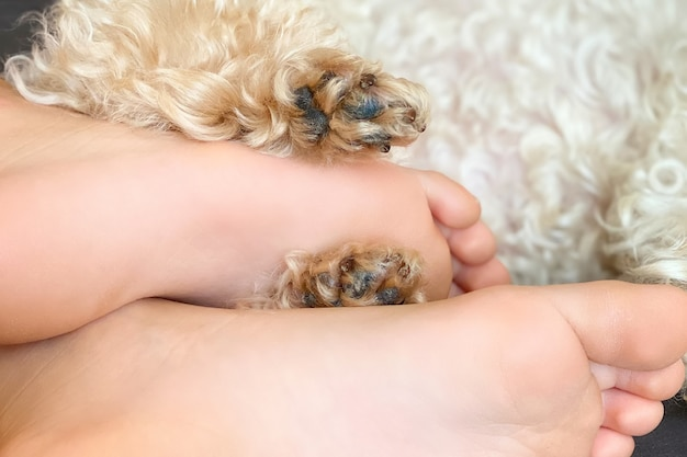 Feet of a girl and dog poodle paws on a bed close up. animal and human friendship concept.