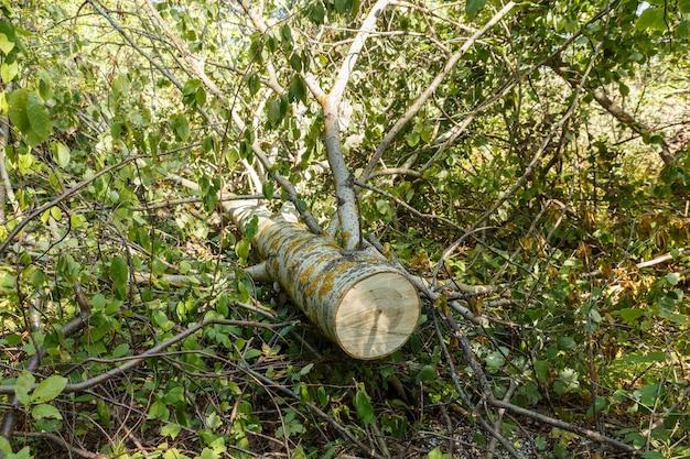 쓰러진 아스펜 나무는 나무의 톱질된 줄기가 숲의 땅에 누워 있다