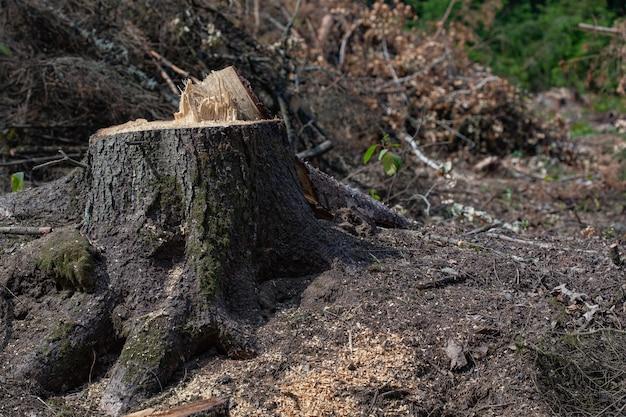 森の中で倒れた松の木。森林伐採と違法伐採