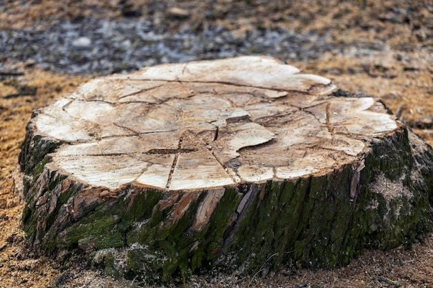 Felled tree stump in the park close-up. high quality photo