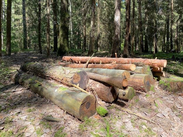 Срубленные деревянные стволы сосен лежат на земле в лесу
