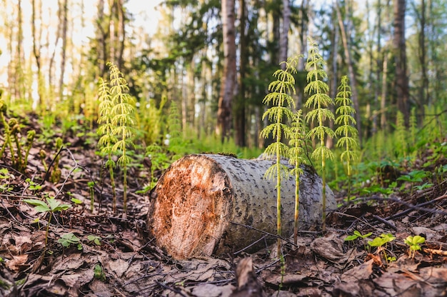 Felling of trees. young shoots in place of a felled tree. atmospheric green forest backdrop with lush moss. woodland texture.