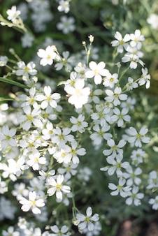 Felted hornwort, cerastium tomentosum, in spring