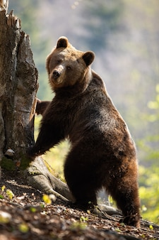 Female adult brown bear standing in upright position on rear legs by tree.