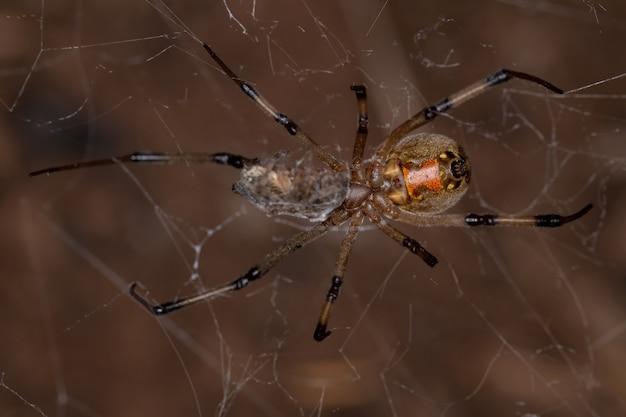 작은 거미를 잡아먹는 latrodectus geometricus 종의 암컷 성인 갈색 과부
