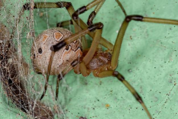Latrodectus geometricus 종의 암컷 성체 갈색 과부