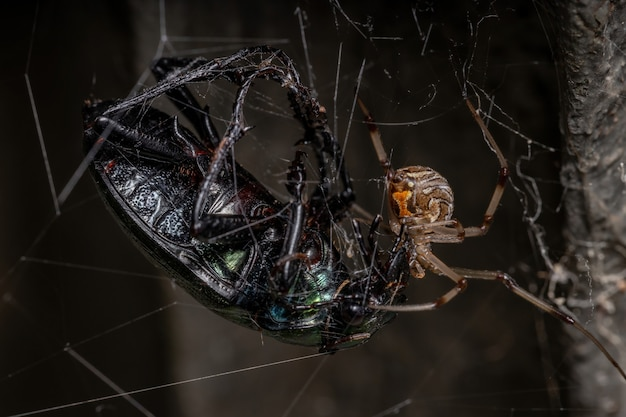 Female adult brown widow of the species latrodectus geometricus preying on a adult caterpillar hunter beetle of the species calosoma alternans
