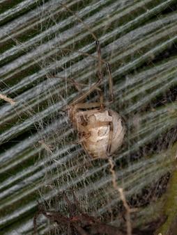 Female adult brown widow of the species latrodectus geometricus