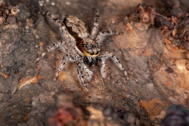 Female adult gray wall jumping spider of the species menemerus bivittatus