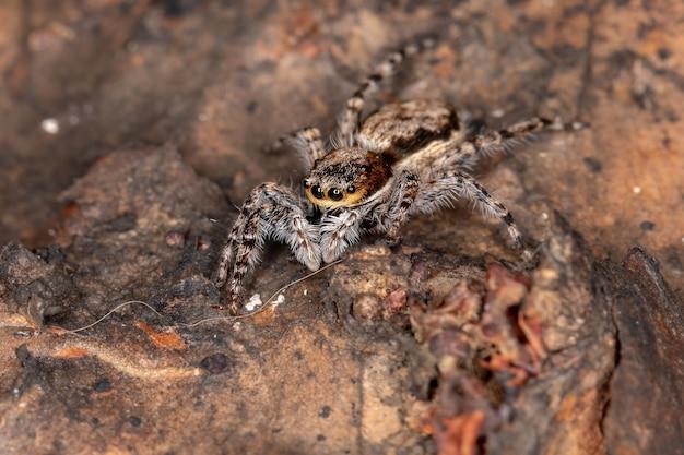 Female adult gray wall jumping spider of the species menemerus bivittatus Premium Photo
