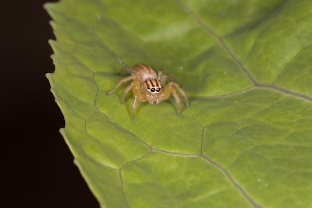 チラ属の雌成虫ハエトリグモ