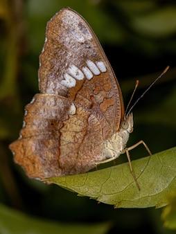 Anartia amathea 종의 암컷 성체 붉은 공작나비