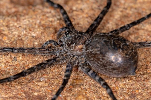 Trechaleid 가족의 암컷 성인 trechaleid 거미는 호수 기슭에서 발견되는 수생 거미의 종입니다