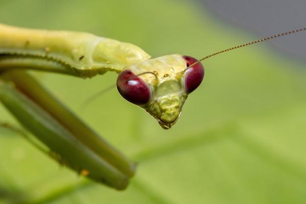 선택적 초점을 가진 히비스커스 식물에 parastagmatoptera unipunctata 종의 암컷 성인 유니콘 사마귀