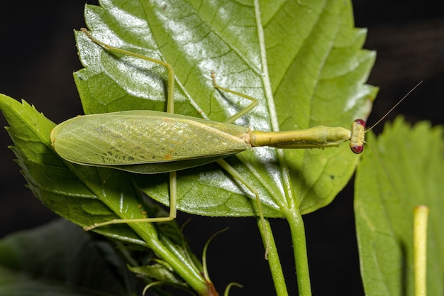 Female adult unicorn mantis of the species parastagmatoptera unipunctata on a hibiscus plant with selective focus