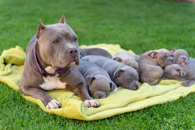 A female american bullie lay down beside her sleeping puppies on a rug near the summer house.