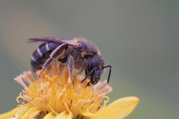 黄色い花の上の雌の縞模様の汗の雄牛の頭の畝間蜂(lasioglossum zonulum)