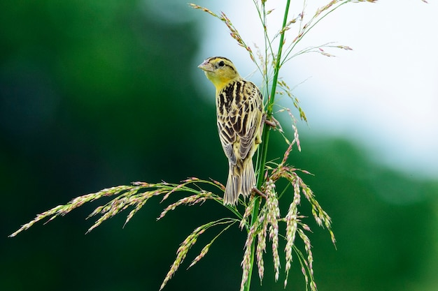 Самка bobolink на стебле травы