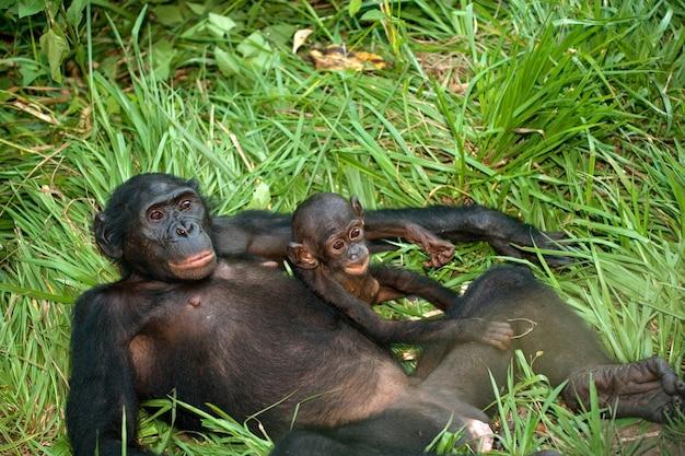 Female bonobo with a baby. democratic republic of congo. lola ya bonobo national park.