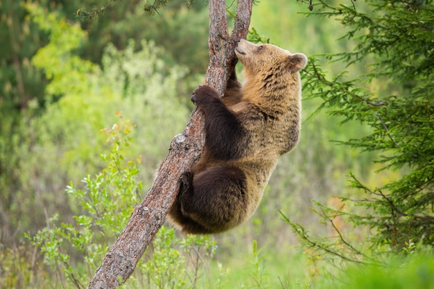 Женский бурый медведь, восхождение на дерево в природе летом с зеленым лесом позади