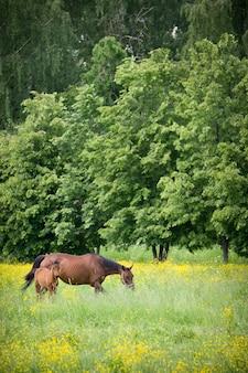 フィールドで草を食べる生まれたばかりの赤ちゃんの馬と女性の茶色の馬