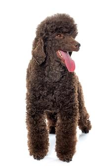 Female brown poodle