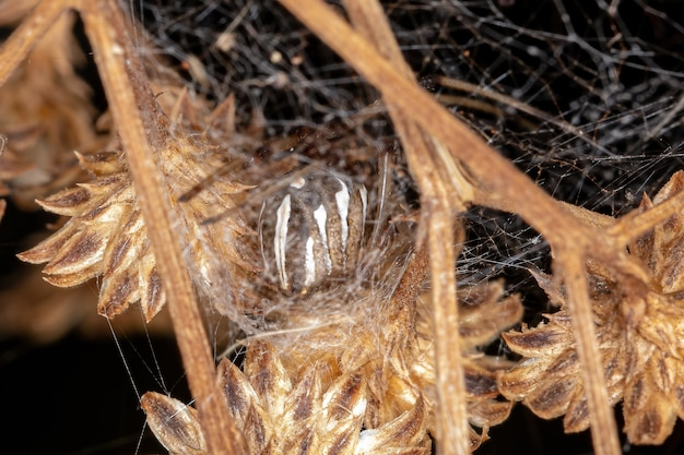 Female brown widow of the species latrodectus geometricus