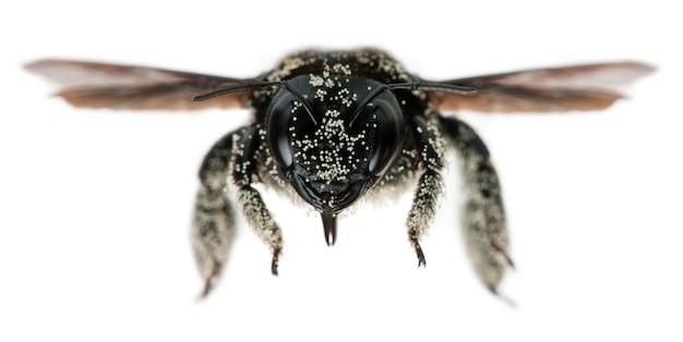 Самка пчелы плотника покрытая пыльцевыми зернами, apis violacea, на белом изолированные