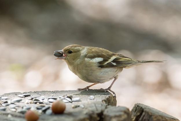 Female chaffinch on a branch