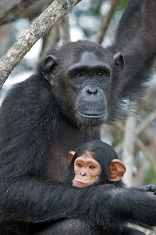 Female chimpanzee with a baby on mangrove trees