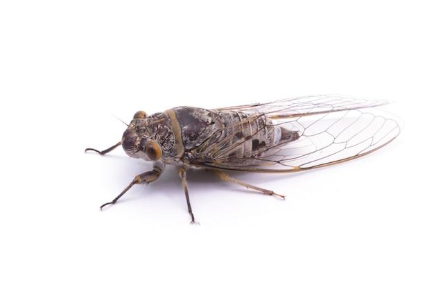 흰색 배경에 고립 된 여성 매미 곤충