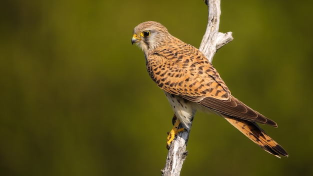 Female common kestrel sitting on a branch in summer nature