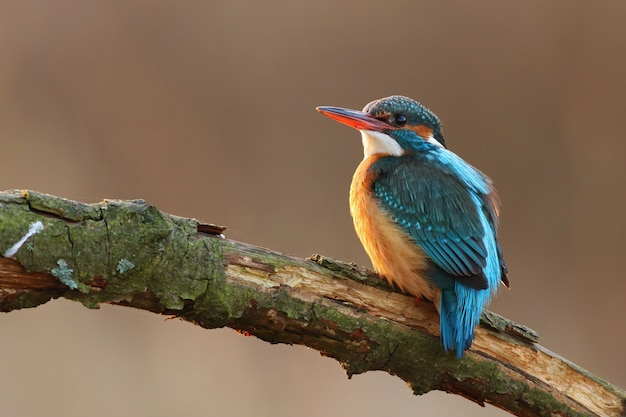 Female of common kingfisher perched on the twig above river Premium Photo