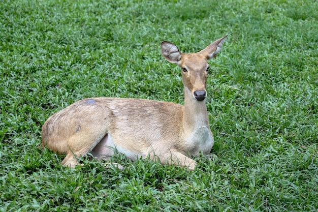 Female deer in garden at thailand