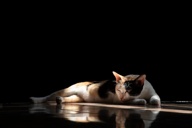 A female domestic cat lying on the floor.