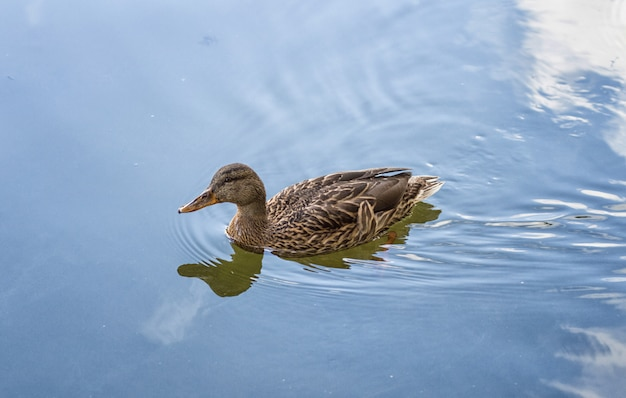 Female duck swims in the lake