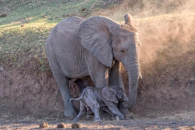 Слоненок и ее ребенок