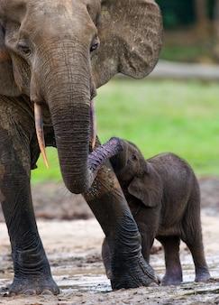 Слоненок с младенцем. центрально-африканская республика. республика конго. особый заповедник дзанга-сангха.