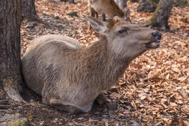 森の中の木のそばに敷設雌のヘラジカ