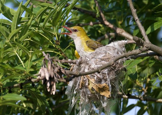 雌のユーラシアの黄金のオリオール(oriolus oriolus)は、巣の近くでクローズアップで撮影されています。くちばしにはひよこの餌を入れておきます。