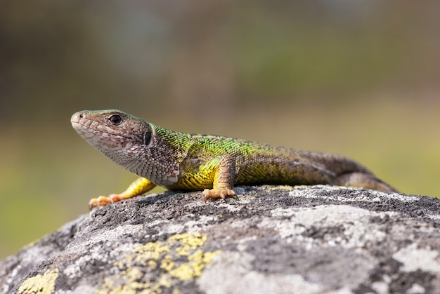 Female of the european green lizard is basking on the sun to accumulate energy