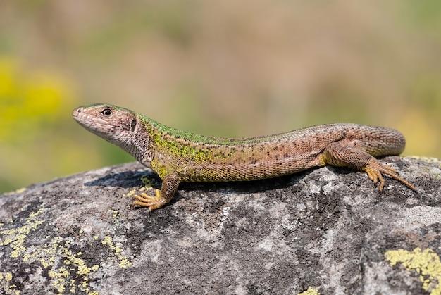 Female european green lizard lying on a rock illuminated by summer sun
